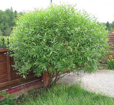 Гибрид Шабурова «Шаровидный карлик» отлично подходит для формирования зеленых ограждений