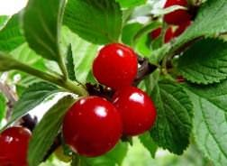 Войлочная вишня: уход и выращивание, обрезка, фото