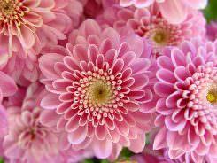Хризантемы Мультифлора: сорта