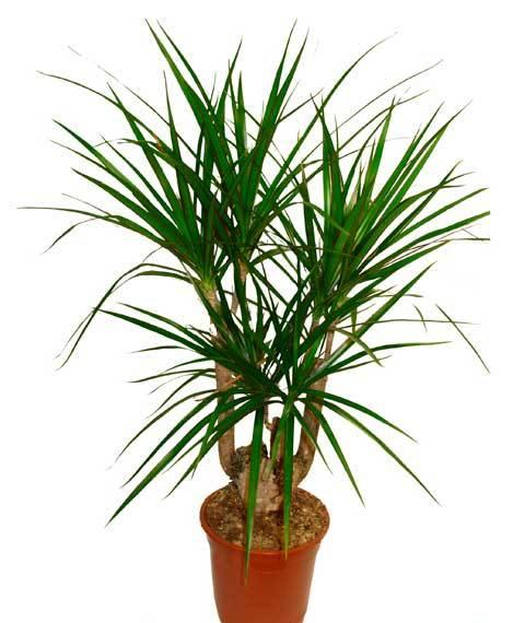 Драцену можно назвать некапризным растением, поэтому особо изощренных требований к ним нет