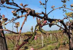 Виноград после зимы