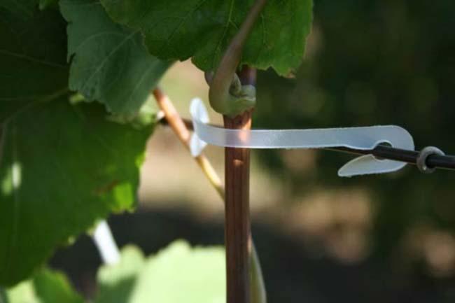 «Зеленая» подвязка молодых виноградных побегов осуществляется в вертикальном направлении или под углом и способствует равномерному освещению растения