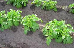 Посадка картофеля в гребни вручную (видео)