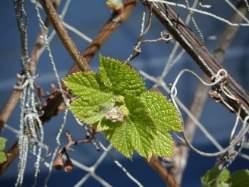 Весенний полив и подкормка винограда