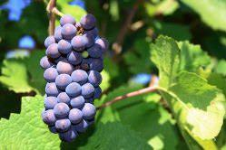 Виноград Пино Нуар: описание сорта и фото
