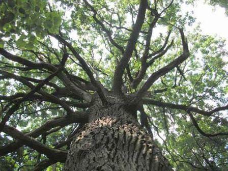 Роль дубов в озеленении