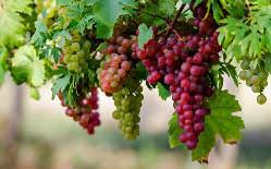 Лучшие сорта винограда для Кубани