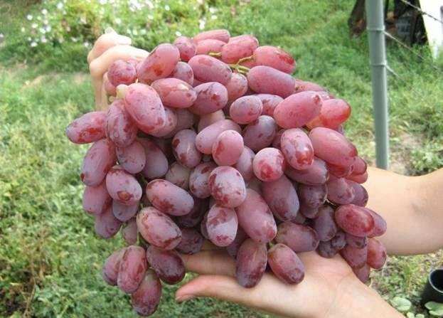 Виноград «Шахиня Ирана» имеет стабильную урожайность вне зависимости от региона культивирования