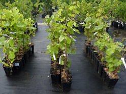 Как сажать саженцы винограда