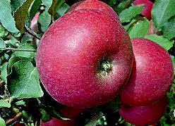 Яблоня вишневая