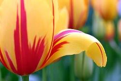 Выгонка тюльпанов: новогодняя сказка о цветах