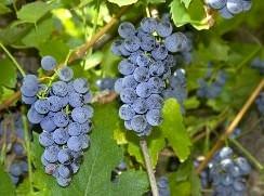 Сорт винограда Зилга