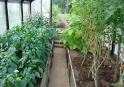Как в теплице правильно посадить вместе перец, томаты и огурцы (10 фото)