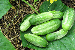 Выращивание огурцов Нежинские