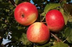Яблоня Серебряное копытце: посадка и уход