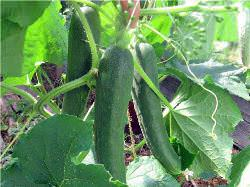 Выращивание огурцов Зозуля