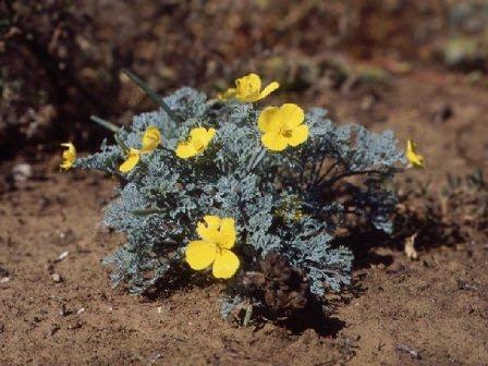 Цветы Эшшольция (10 фото)