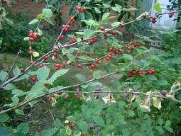 Лечение монилиального ожога войлочной вишни