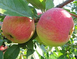 Сорт яблони Медуница: фото и описание сорта