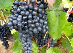 Сорт винограда Памяти Домбковской: фото и описание