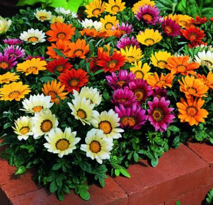 Гацания: фото цветов