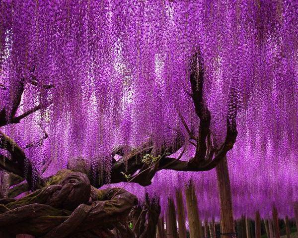 Глициния является теплолюбивым растением и нуждается в утеплении на зиму
