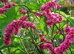 Растение горец (10 фото)