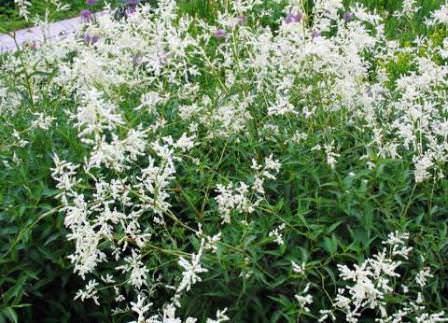 Альпийский горец (Polygonum alpinum) – широко распространенный сорняк, используют в букетах