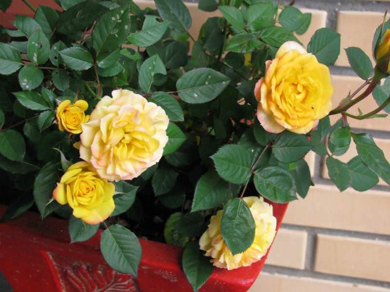 Роза комнатная - Комнатные растения