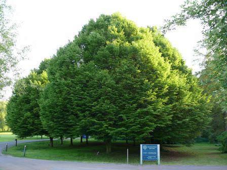 Разновидности дерева