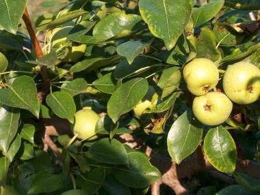 Сорта груш для вологодской области с фото