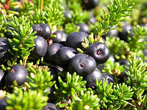 Как вырастить уникальное и полезное растение «вороника»