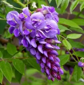 Глициния (Вистерия) имеет характерные для семейства бобовых цветы