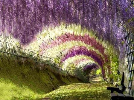 Глициния многоцветковая – известна в культуре с 19 века. Соцветия крупные, до 50см