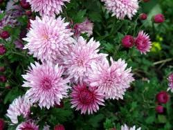 В природе существует около 180 видов хризантемы