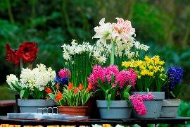 Луковичный цветок колокольчик белый садовый