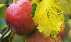 Яблоня Румянка свердловская: описание, посадка и уход