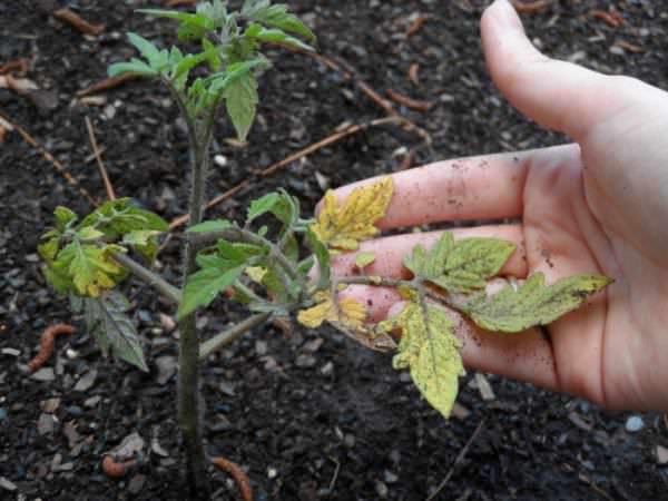 Как спасти пожелтевшую после холода рассаду помидор