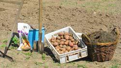 Как сажать картофель под лопату