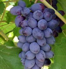 Виноград Юпитер: описание сорта и фото