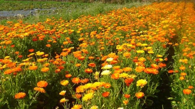 Сад в оранжевых сочных тонах добавит света и красок в каждый уголок приусадебного участка