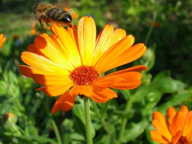 Сорта растения отличаются многообразием. Многие из них используются в медицине