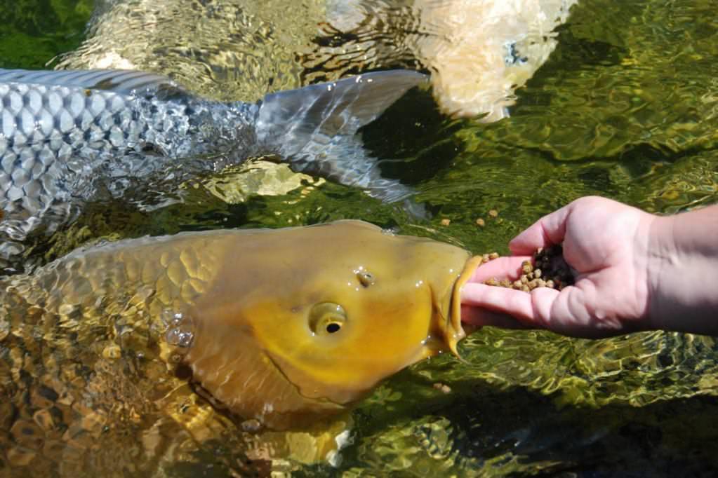 Корм для рыб своими руками фото