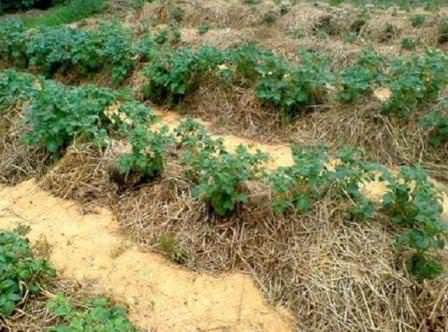 Выращиваем картофель под соломой — способ оригинальный и урожайный