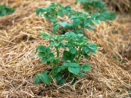 При выращивании картофеля под соломой, урожайность возрастает