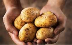 Картофель Василий: описание сорта, фото, отзывы