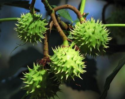 Пересадка каштана весной