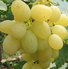 Виноград Кеша 1: описание сорта, фото, отзывы