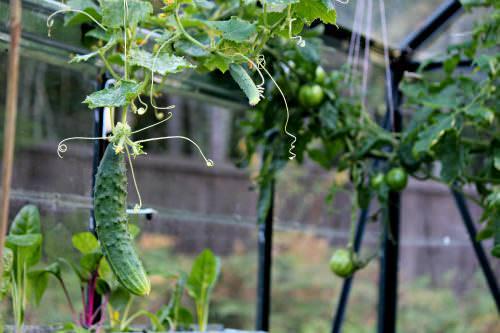 Теплицы из поликарбоната  - лучший вариант для выращивания томатов и огурцов