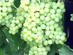 Сорт винограда без косточек кишмиш